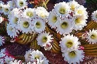 Beautiful bloom of cactus, Ivins, Utah