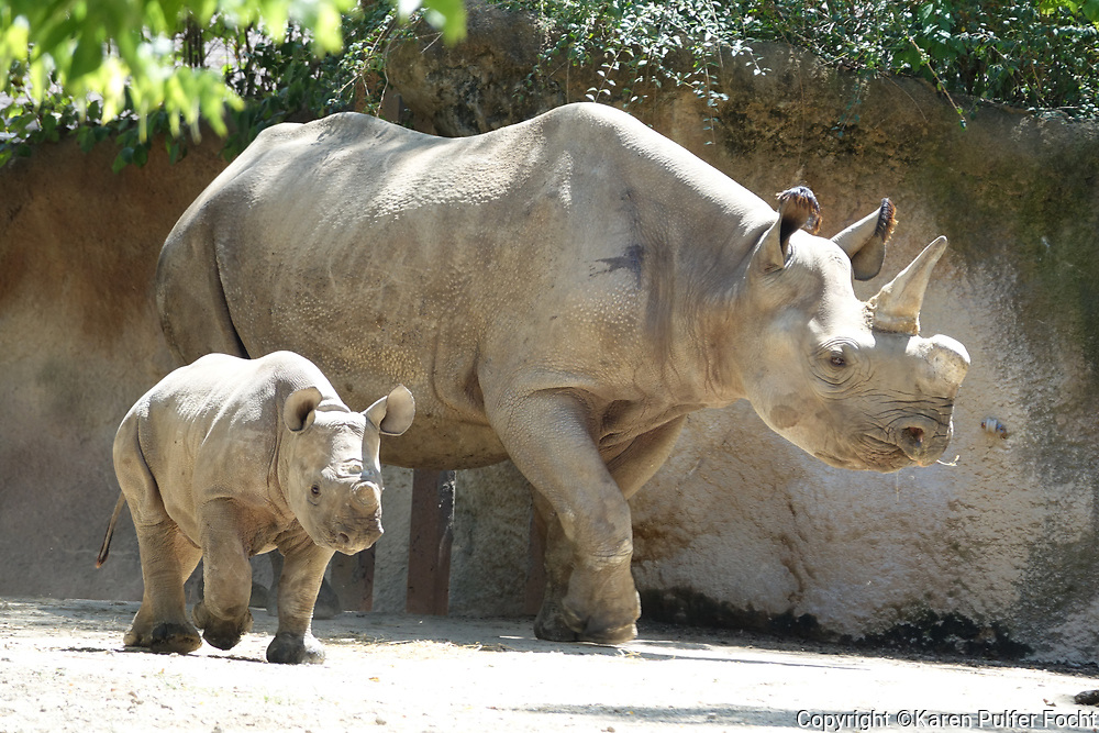 Rhino mother and baby at the St. Louis Zoo.