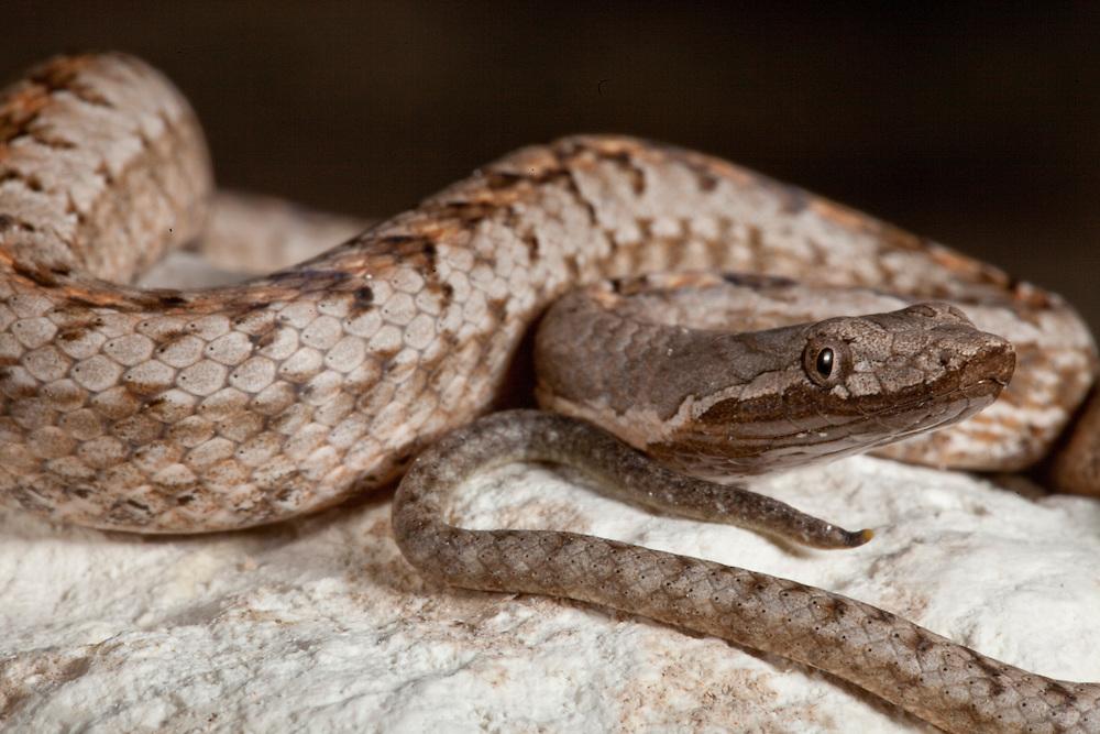 Hispaniola cat-eyed snake, Hypsirhynchus ferox, on Ile de la Gonave, Haiti
