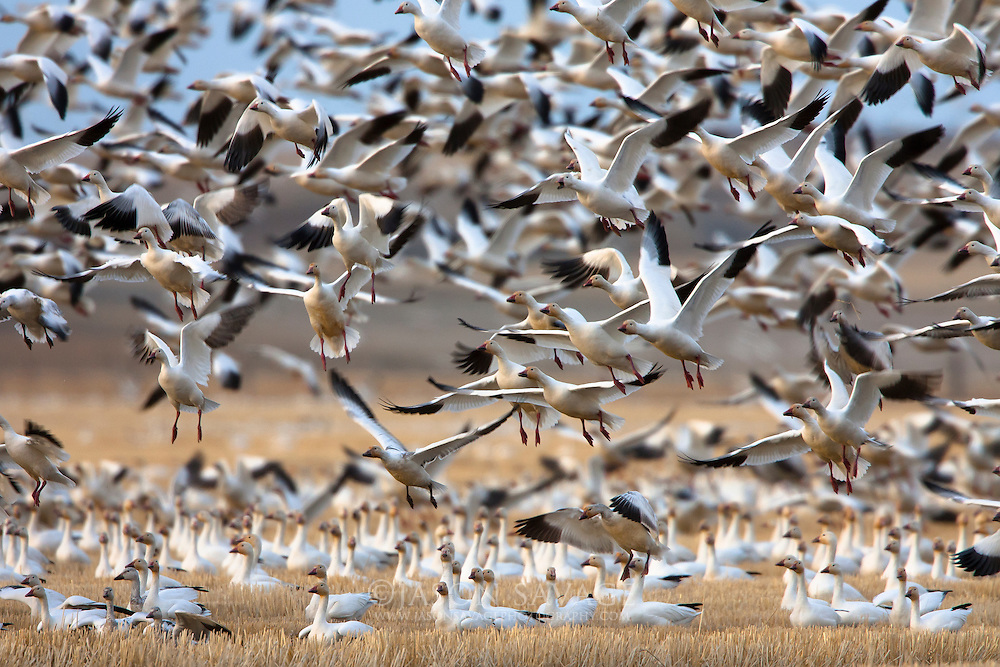 Snow Geese stop over in central Montana during their annual spring migration.