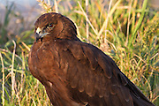 Australasian Harrier, Southland, New Zealand