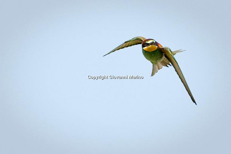 Rionero in V. (PZ)/Basilicata - The European Bee-eater, Merops apiaster, is a near passerine bird in the bee-eater family Meropidae. It breeds in southern Europe and in parts of north Africa and western Asia. It is strongly migratory, wintering in tropical Africa, India and Sri Lanka. This species occurs as a spring overshoot north of its range, with occasional breeding in northwest Europe.<br /> This species, like other bee-eaters, is a richly-coloured, slender bird. It has brown and yellow upper parts, whilst the wings are green and the beak is black. It can reach a length of 27-29 cm (10.6-11.4 in), including the two elongated central tail feathers. Sexes are alike.