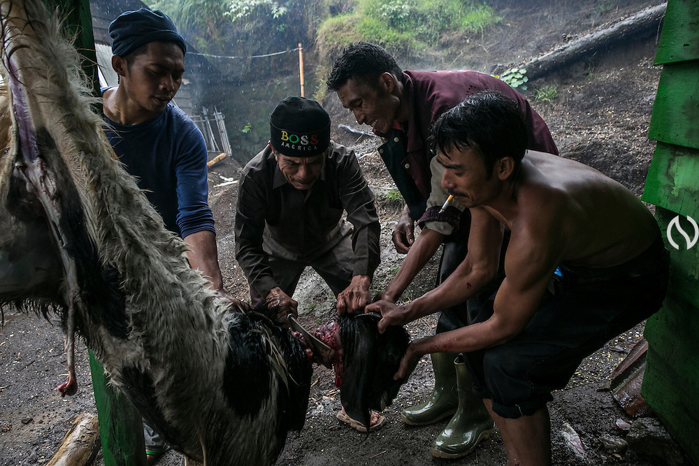 BONDOWOSO, EAST JAVA - DECEMBER 16: Miners slaughter a goat as they prepare for an annual sacrificial ritual in Ijen sulfur crater, Bondowoso, East Java, Indonesia, December 16, 2013. The miners held the sacrifice in order to ask blessing of good result and prevent from accident or injury. The tradition begun in 1978 after a tragedy that killed four people and fourteen black out cause of poisoning gas. Daily miners produce fifteen ton of sulfur or approximately 450 ton a month. Come close to 150 miners work everyday. All the sulfur goes to sugar factory ans used as sugar whitening.