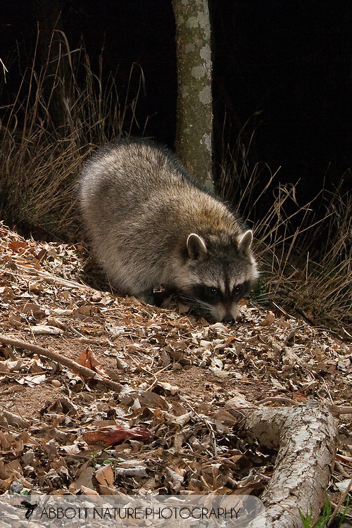Northern Raccoon (Procyon lotor)<br /> TEXAS: Travis Co.<br /> Brackenridge Field Laboratory; Austin<br /> 1.Feb.2009<br /> J.C. Abbott<br /> photographed with trap camera