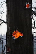 A tree burns from the inside out during the Big Creek Fire near the Yosemite National Park gateway community of Groveland, California.