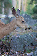 A deer pauses from grazing amongst boulders, Lassen National Park, California
