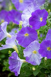 Petunia multiflora 'Frenzy Light Blue' (Frenzy Series)