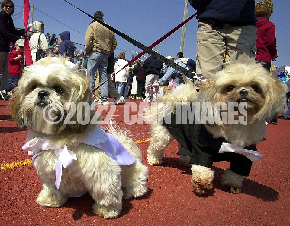 OCEAN CITY, NJ - APRIL 19: Shitzus, Riley (L), the bride, and Bushi (R), the groom prepare to participate in the Woofin' Paws Easter Pet Parade and Fashion Show, April 19, 2003, in Ocean City, New Jersey. 65 cats, dogs, guinea pigs, rabbits, and a mexican hairless rat competed in swimsuit, best dressed, best tail wagging, best easter bonnet, and best of show categories for a first, second, or third place ribbon. (Photo by William Thomas Cain/Getty Images)