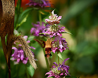 Hummingbird Clearwing moth feeding on a Lemon Mint flower. Image taken with a Nikon D5 camera and 80-400 mm VRII lens (ISO 400, 400 mm, f/8, 1/800 sec).