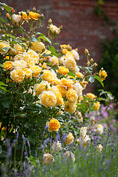 Rosa Graham Thomas = 'Ausmas' growing by a lavender hedge in the walled garden at Mottisfont