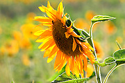 Close up of a Large sunflower in a field of sunflowers