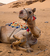 Camel at rest, Egypt