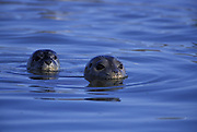 Harbor Seal <br /> Phoca vitulina<br /> Female and pup<br /> Elkhorn Slough, CA, USA<br /> A female surfaces with her young pup behind