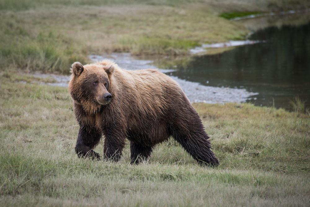 Coastal Brown Bears (Grizzlies)
