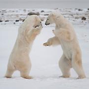 Two large male polar bears play fighting near Hudson Bay.
