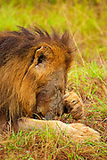A male lion rests after gorging himself on a buffalo kill in Klaserie, South Africa.