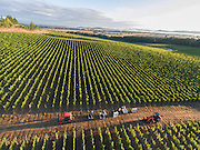 Open Claim Vineyards pinot noir harvest 2016, Eola-Amity Hills AVA, Willamette Valley, Oregon