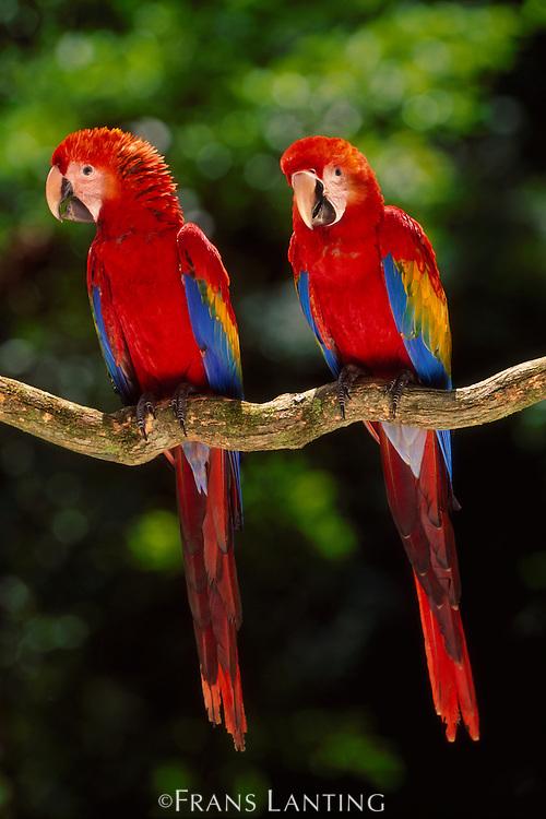 Scarlet macaws on branch, Ara macao, Tambopata National Reserve, Peru