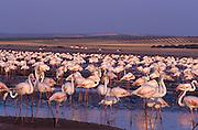 Greater Flamingo (Phoenicopterus ruber). Fuente de Piedra lagoon, Málaga province, Andalucía, Spain.