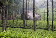 SRI LANKA. Loolacendara tea estate.