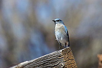 Mountain Bluebird (Sialia currucoides), Sand Wash Basin, Colorado, USA