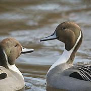 American Pintail Ducks