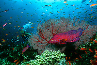 Scuba diver Coral grouper and school of fish on coral reef