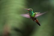 Rufous-tailed hummingbird (Amazilia tzacatl)<br /> Mindo<br /> Cloud Forest<br /> West slope of Andes<br /> ECUADOR.  South America