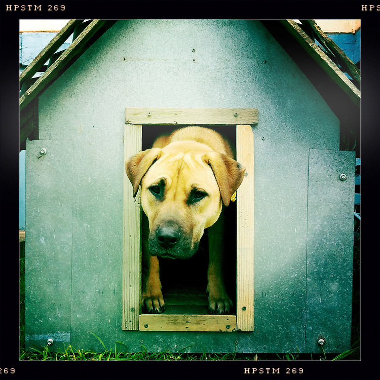 A dog looks sadly out of his kennel