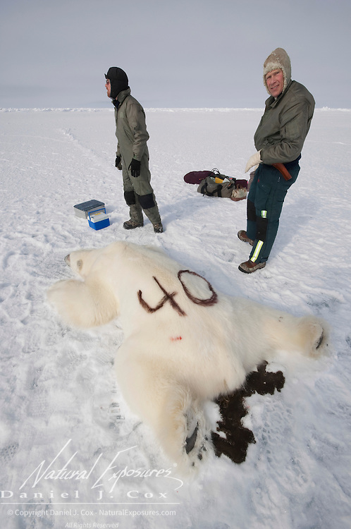 Steve Amstrup, lead USGS biologist, paints a number on the back of an immobilized large male polar bear that was darted for research purposes. Kaktovik, Alaska