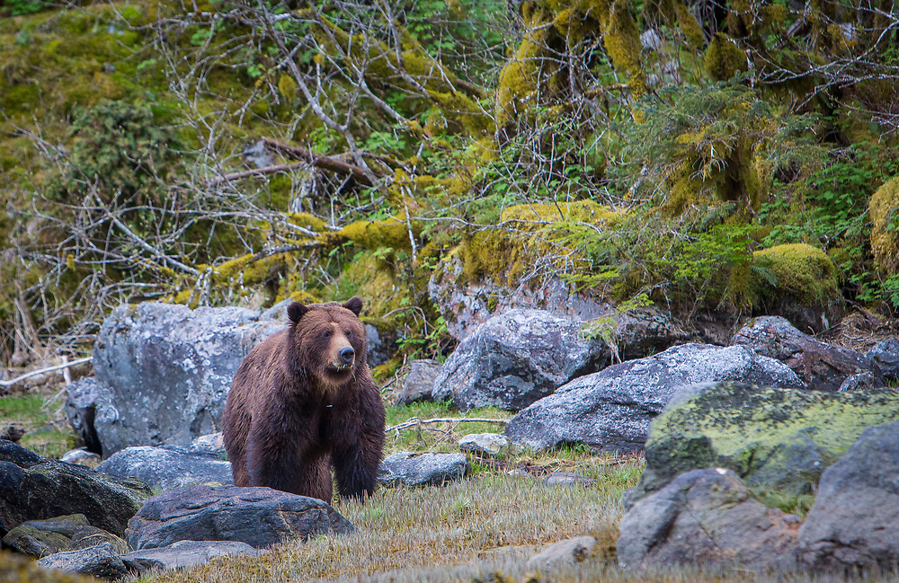 "Grizzly Bear ""Fuzzy"" pauses in the estuary"