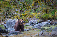 """Grizzly Bear """"Fuzzy"""" pauses in the estuary"""
