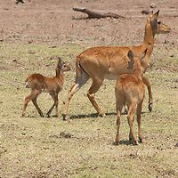 Puku mother with her babies.