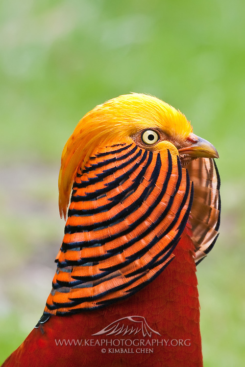 Golden Pheasant, Southland, New Zealand