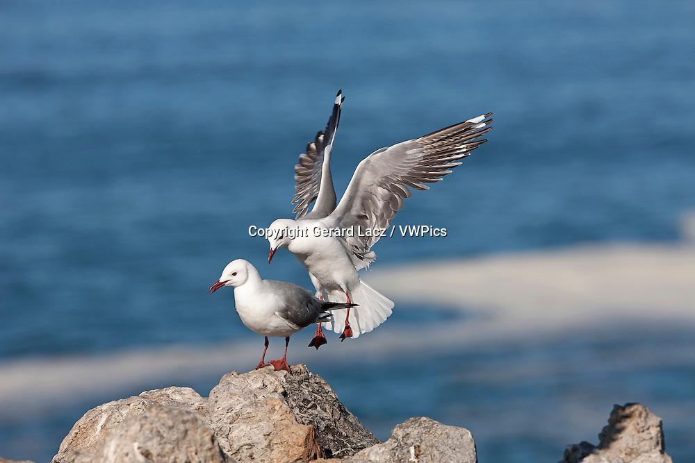 Hartlaub's Gull or king Gull, larus hartlaubii, Adult in Flight, Landing on Rocks, Hermanus in South Africa