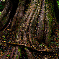 Cedar trunk, Ross Cedars, Northwest Montana.