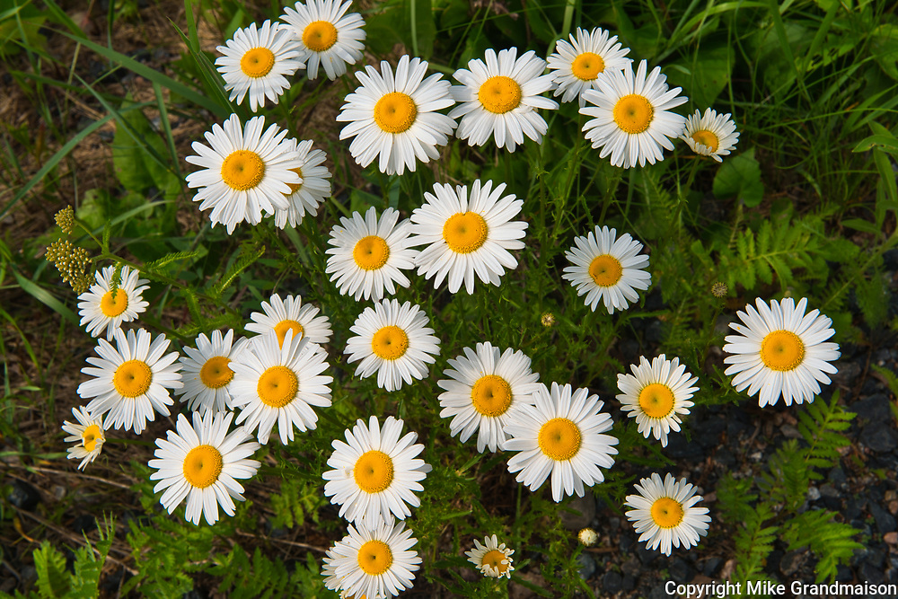 Oxeye Daisy (Leucanthemum vulgare) growing at Blindfold Lake<br />