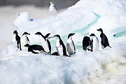 Adélie penguins (Pygoscelis adeliae) stand together on a block of ice near Esperanza Station on Thursday 15 February 2018.