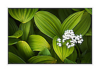 False helebore (Veratrum viride) Corn Lily  and Sitka Valerian (Valeriana sitchensis)