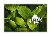 False helebore (Veratrum viride) Corn Lily  and Sitka Valerian (Valeriana sitchensis)