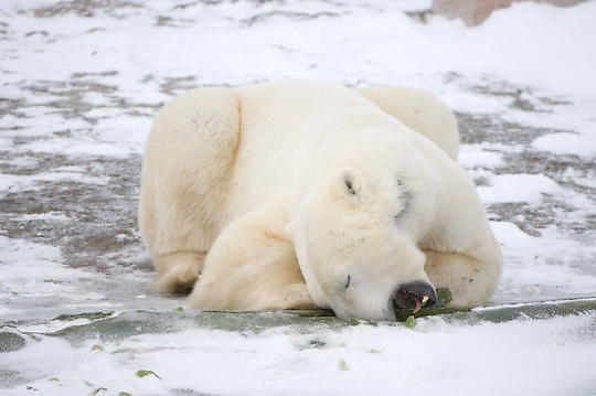 Polar Bear (Ursus maritimus) adult feeding on ice encrusted algae  on the shores of Hudson Bay, near Churchill, Manitoba.