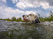 """English Setter """"Rudy"""" schwimmt am 17.06. 2018 im Teich von Stara Lysa, (Tschechische Republik).  Rudy wurde Anfang Januar 2017 geboren."""