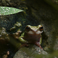EN> Portrait of a very endangered frog in Chiapas | SP> Retrato de una rana muy amenazada en Chiapas