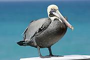 A pelican sits on a railing at the Juno Beach pier in Juno Beach, Florida.