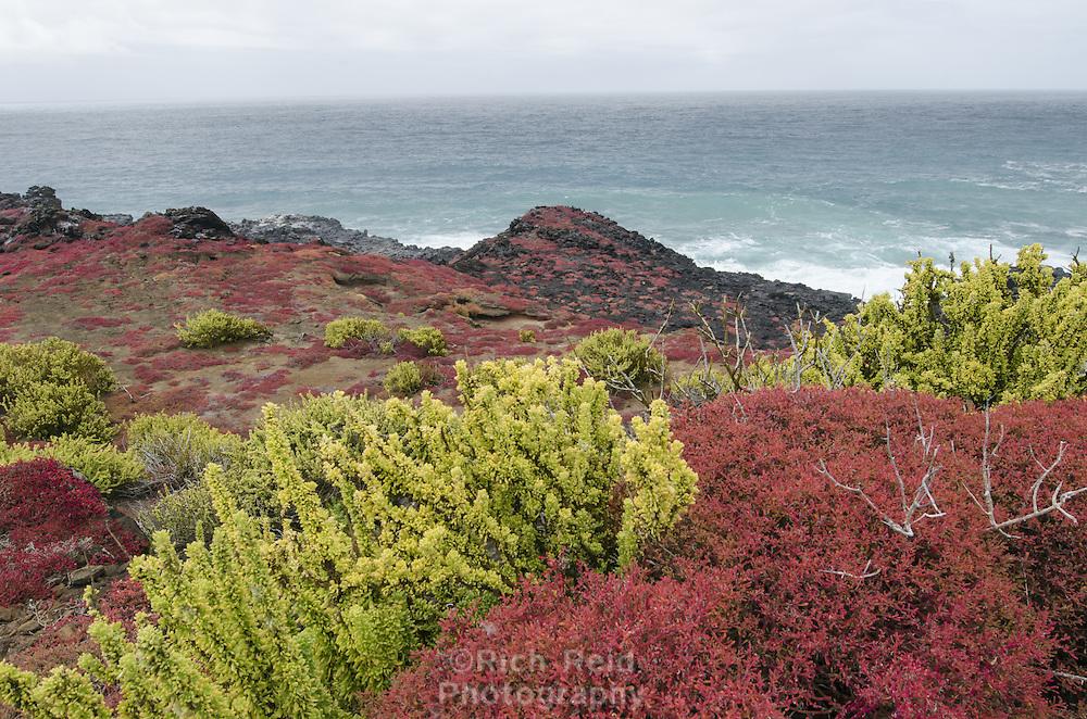 Colorful Sea purslane, Sesuvium portulacastrum at Punta Pitt on San Cristobal Island in the Galapagos Islands National Park and Marine Reserve, Ecuador.