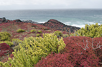 Colorful Sea purslane, Sesuvium portulacastrum at Punta Pitt on San Cristobal Island in the Galapagos Islands National Park and Marine Reserve, Ecuador.