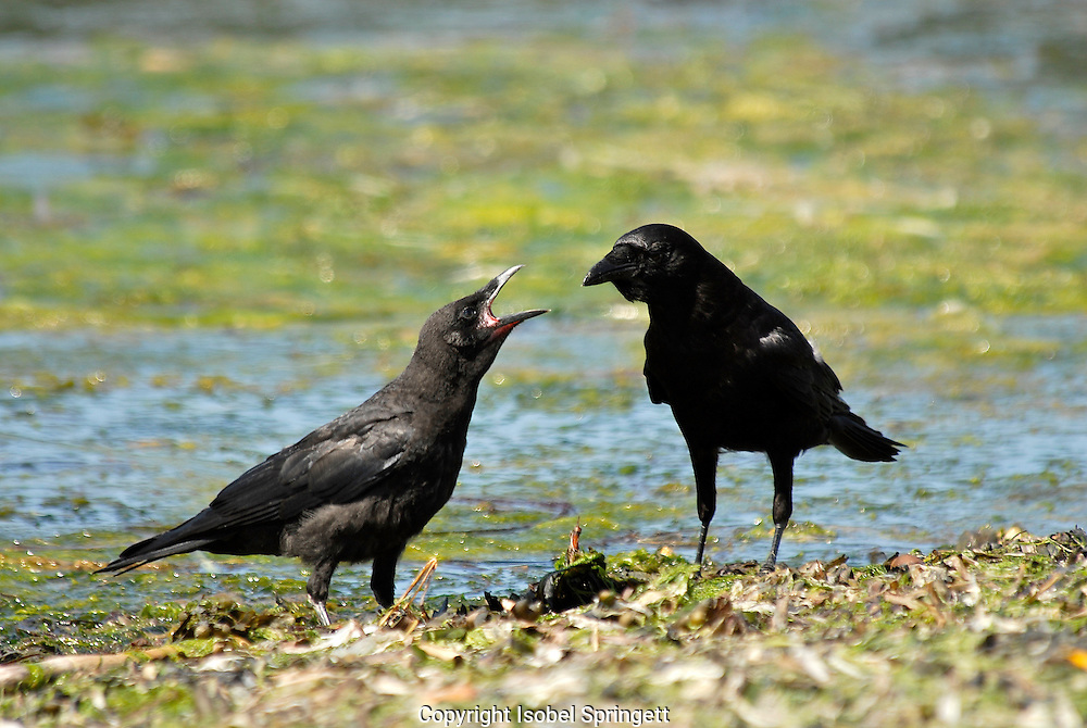 Crow feeding young (Photo by: Isobel Springett).