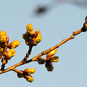 Close-up of buds before the bloom of Washington DC's famous cherry blossoms around the Tidal Basin.