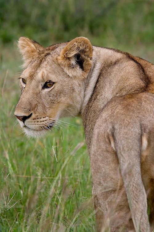 (Panthera leo) Serengeti National Park, Tanzania