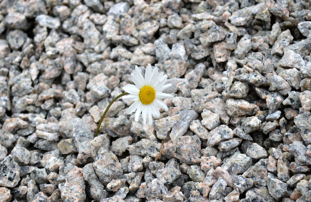 Perseverance, daisy with stones ©Jose Martínez/ NwnPhoto